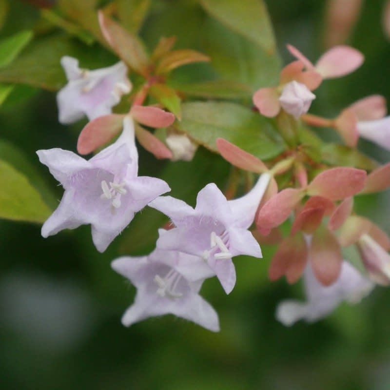 A closeup look at the lavender flowers of Funshine abelia.