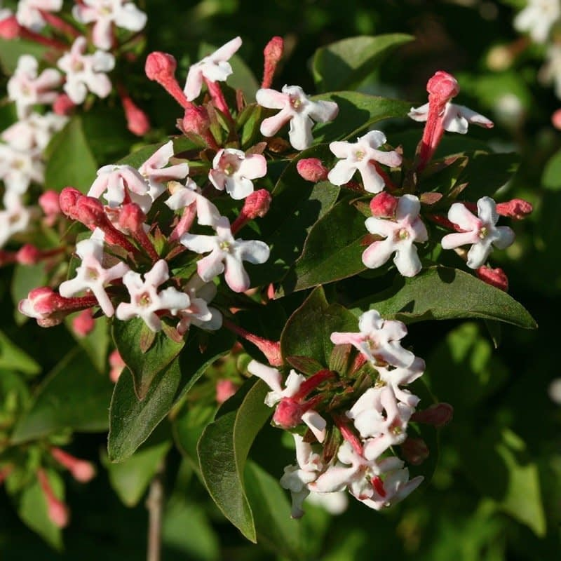 A cluster of fragrant white and pink flowers on Sweet Emotion abelia.