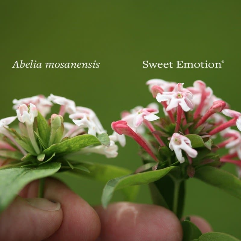 The flowers of Abelia mosanensis and Sweet Emotion abelia side by side.