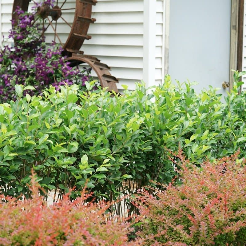 A hedge of Low Scape Hedger aronia planted in front of a garage.