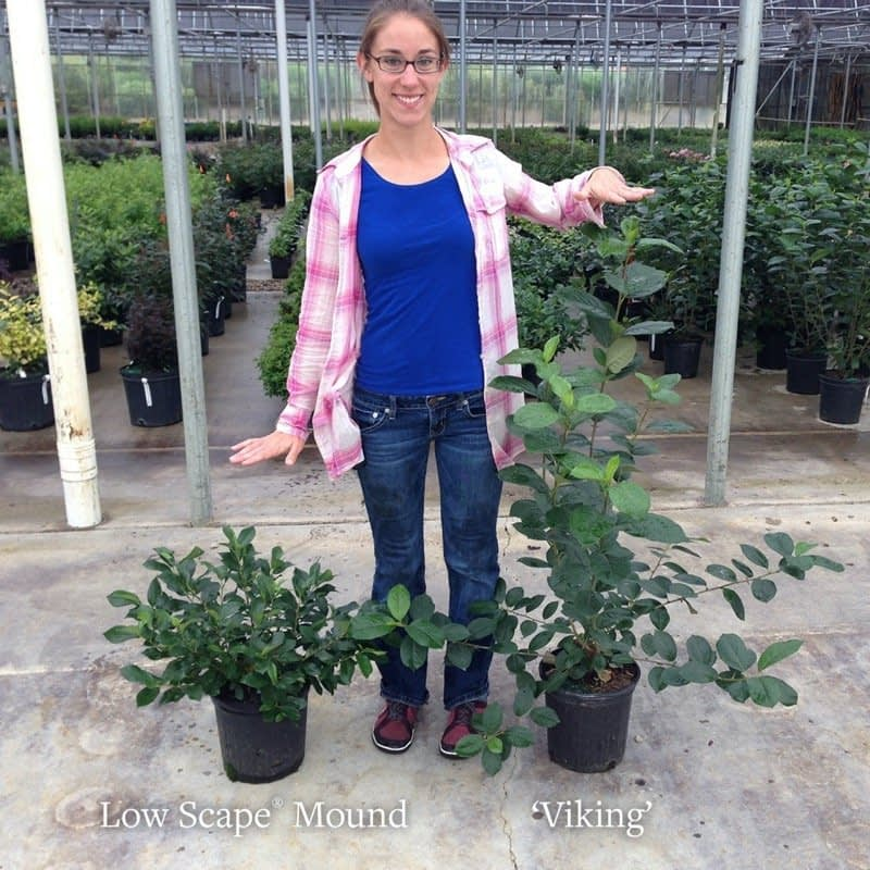 A woman stands between Low Scape Mound aronia and Viking aronia to show the difference in their habits.