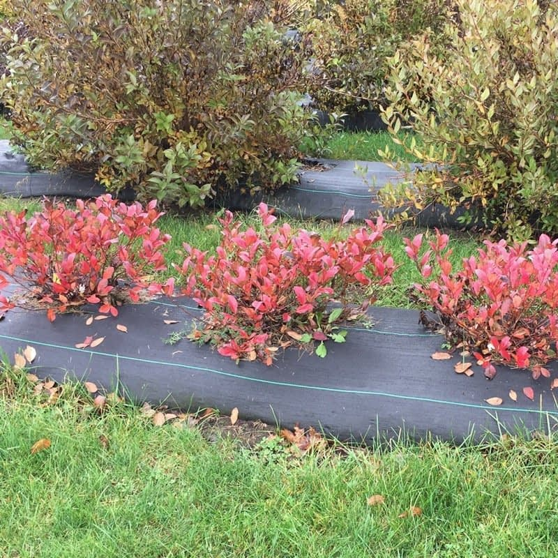 Low Scape Mound aronia with red fall color.
