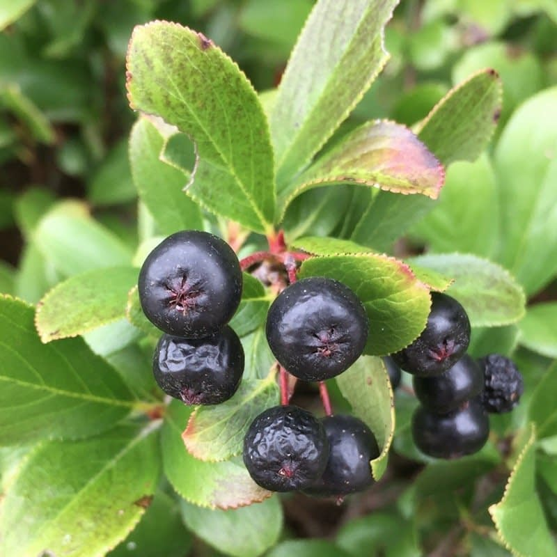 The blue black berries of Low Scape Mound aronia.
