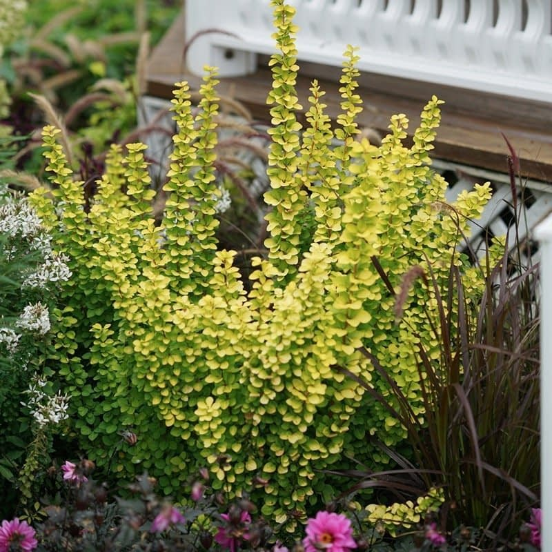 Sunjoy Gold Pillar barberry works well mixed with flowers in a garden.