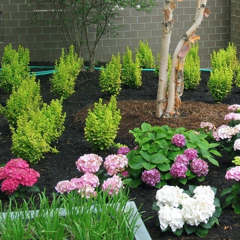 Several Sunjoy Gold Pillar barberries planted in a landscape with hydrangeas.