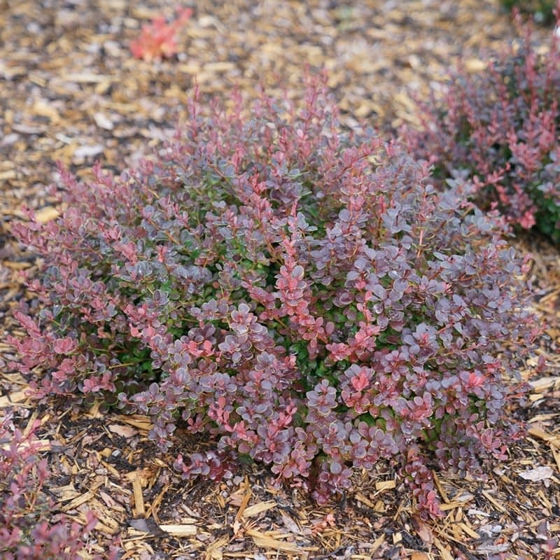 Sunjoy Mini Maroon barberry is colorful and non-invasive.