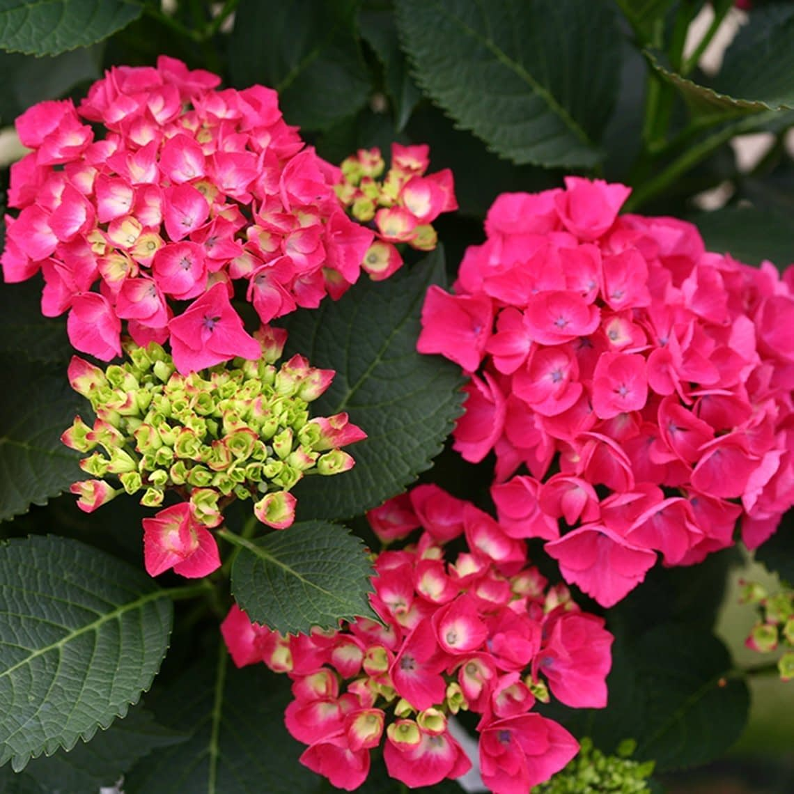 The red mophead flowers of Cityline Paris hydrangea contrast with the dark green foliage.