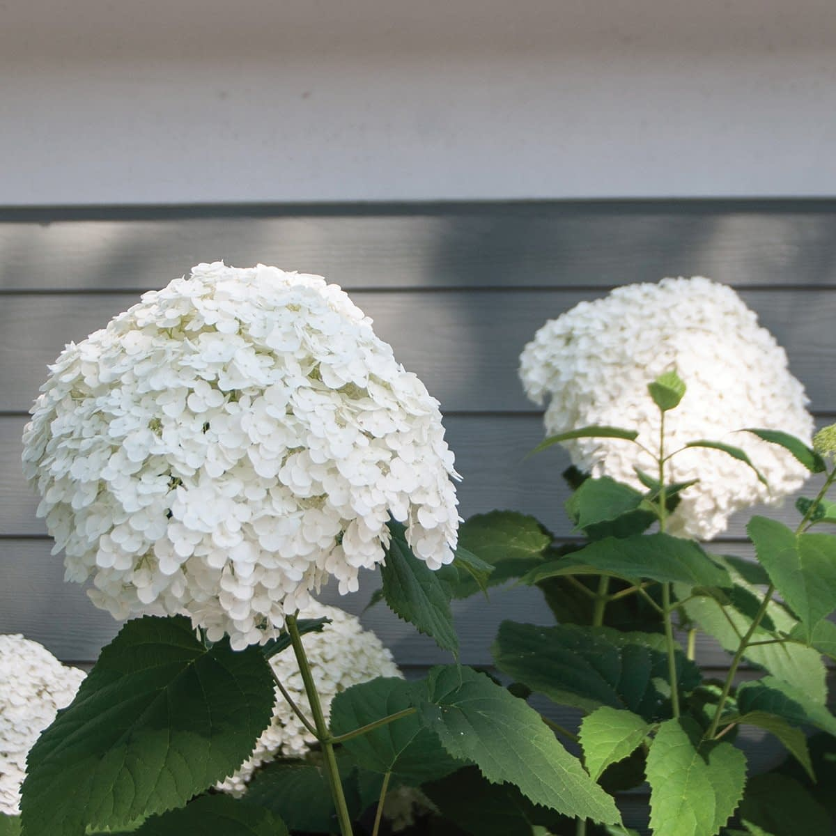 Two large white hydrangea blooms against gray house