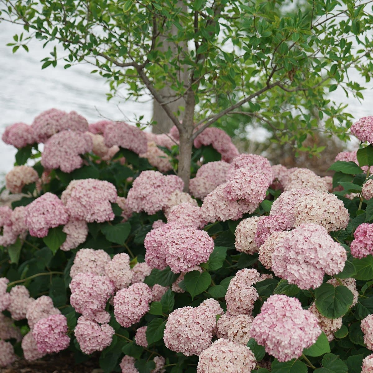 Thin tree trunk surrounded by light pink hydrangea blooms