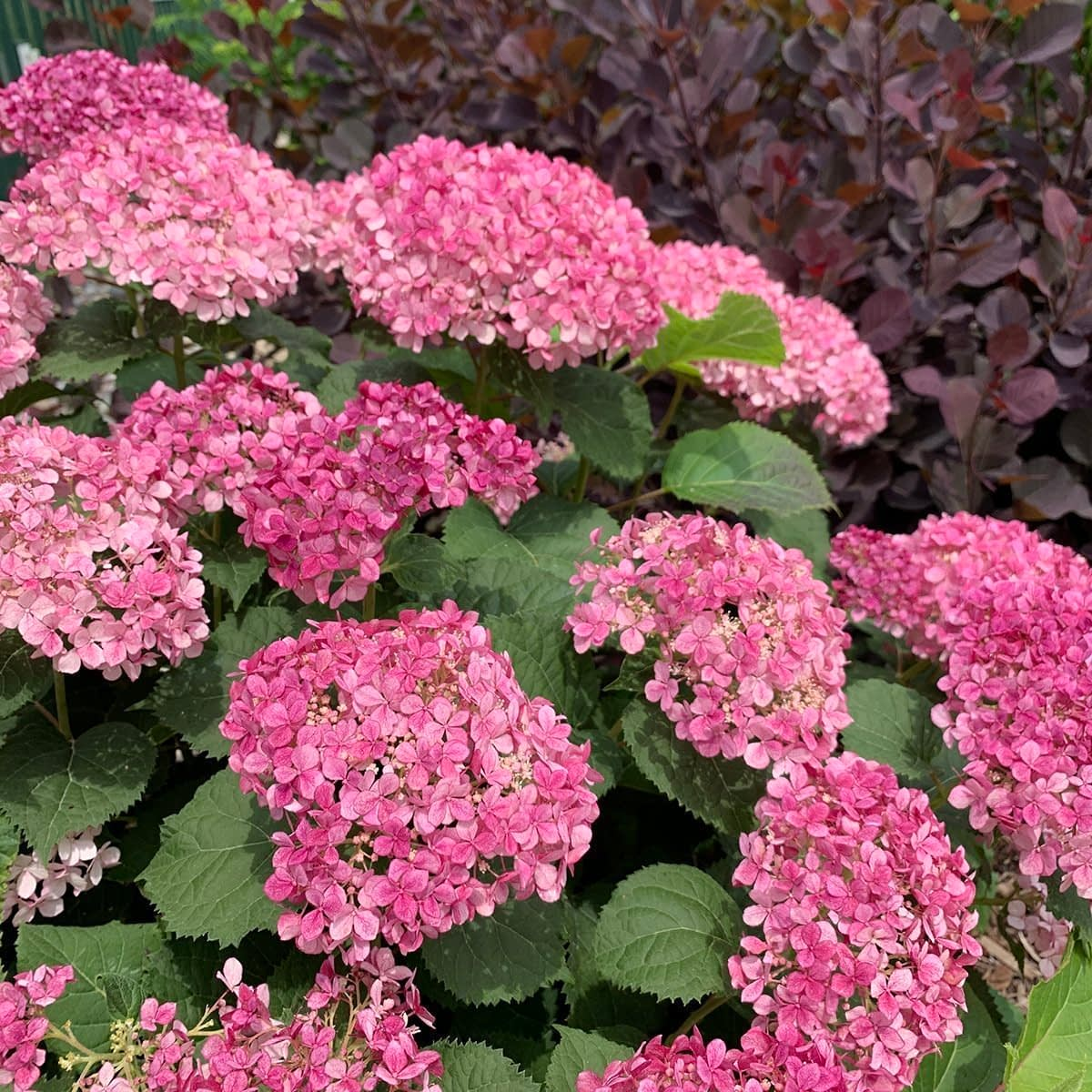 Close up of hydrangea full of large pink blooms with burgundy ninebark