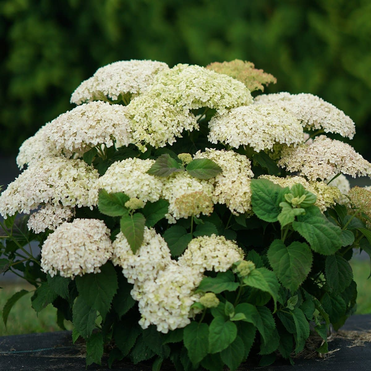 lime and white hydrangea shrub with dark green background