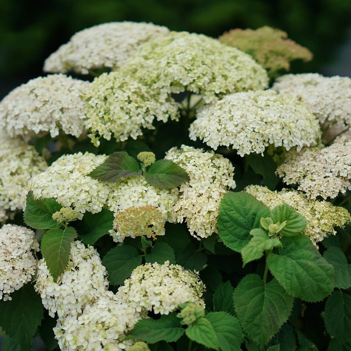 close up of lime and white hydrangea shrub