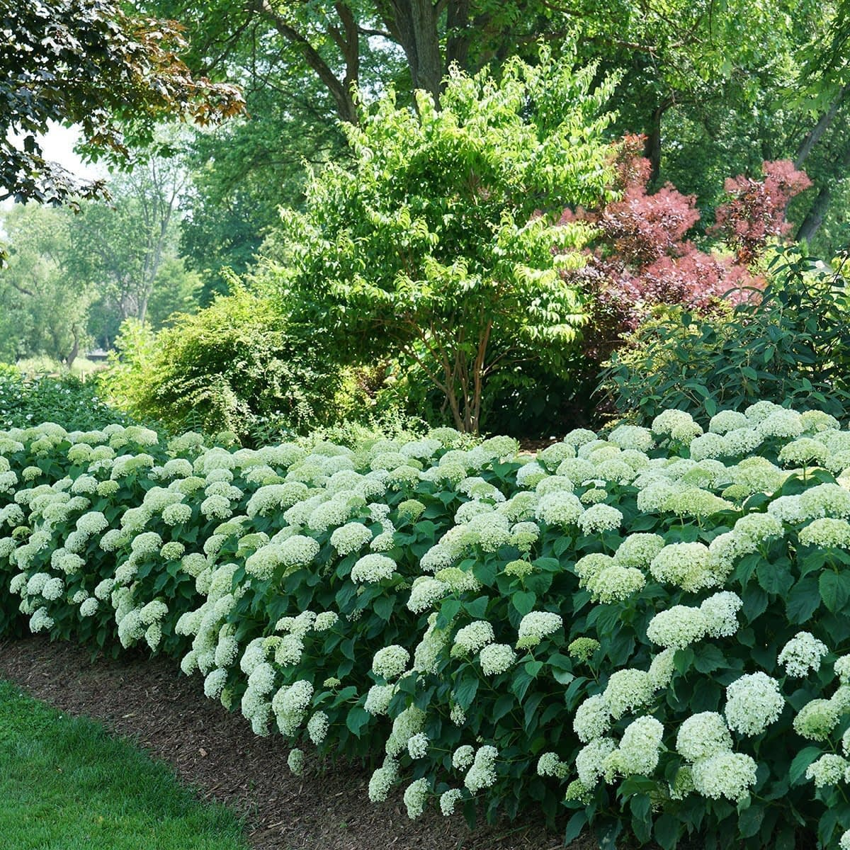 Hedge of pale lime hydrangeas edging garden bed