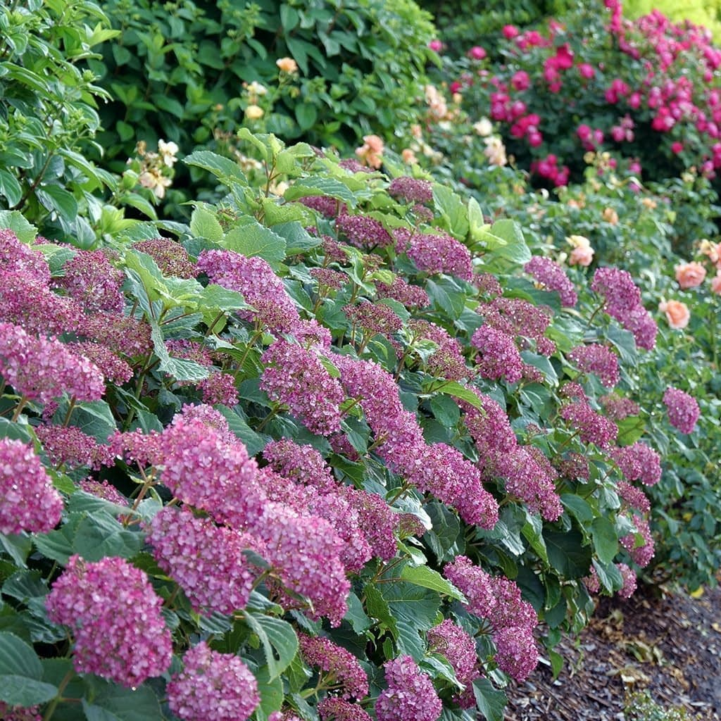 hedge of deep pink hydrangeas with roses