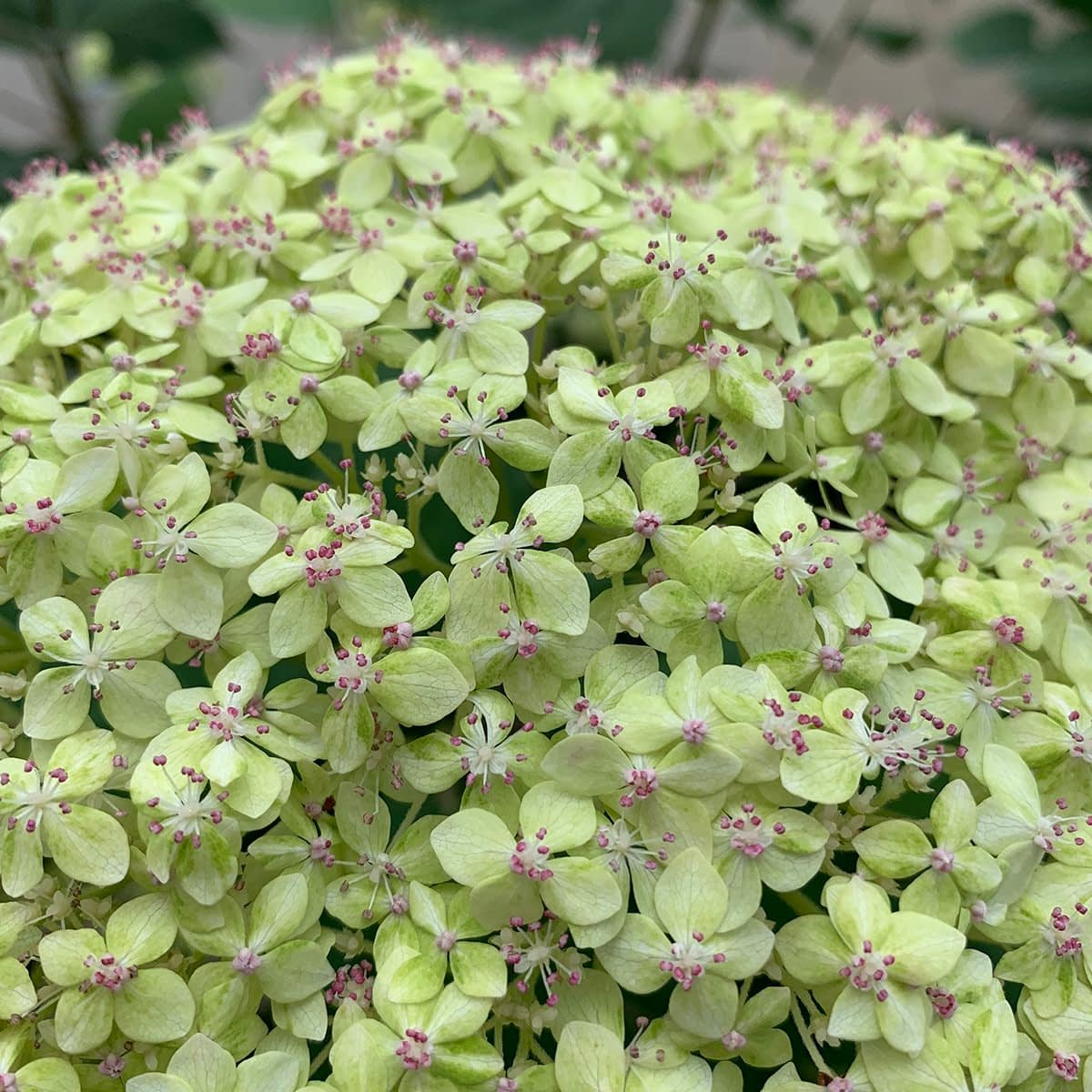 extreme close up of single pale green hydrangea bloom with pink pollen