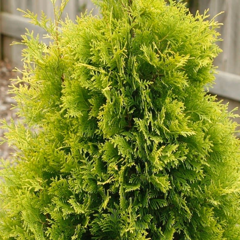 A closeup look at the appealing fan-like evergreen foliage of Polar Gold arborvitae.