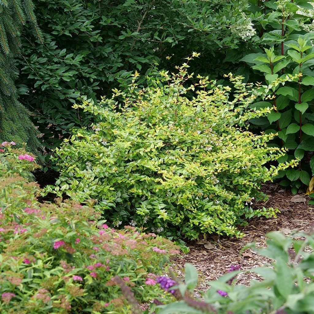 Funshine abelia in early summer with lavender flowers beginning to emerge amongst its chartreuse foliage.