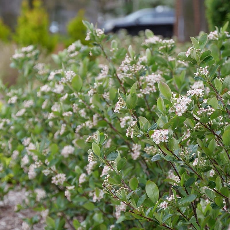 The stems of Low Scape Hedger aronia in bloom.