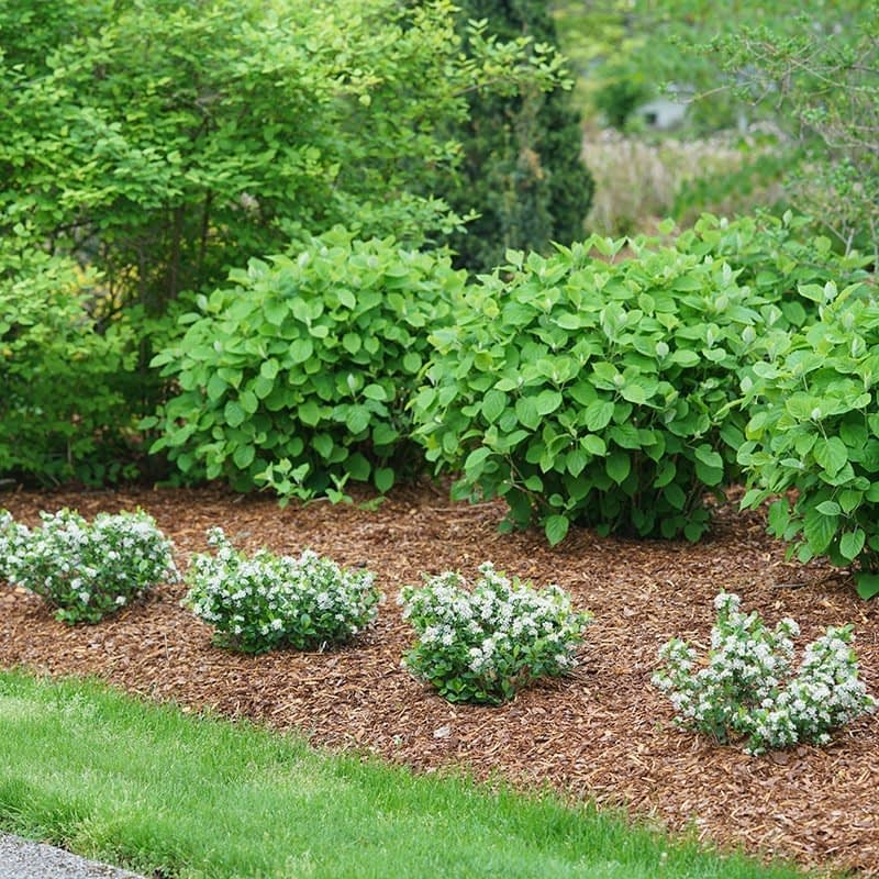 Low Scape Mound aronia planted in front of a line of hydrangeas.