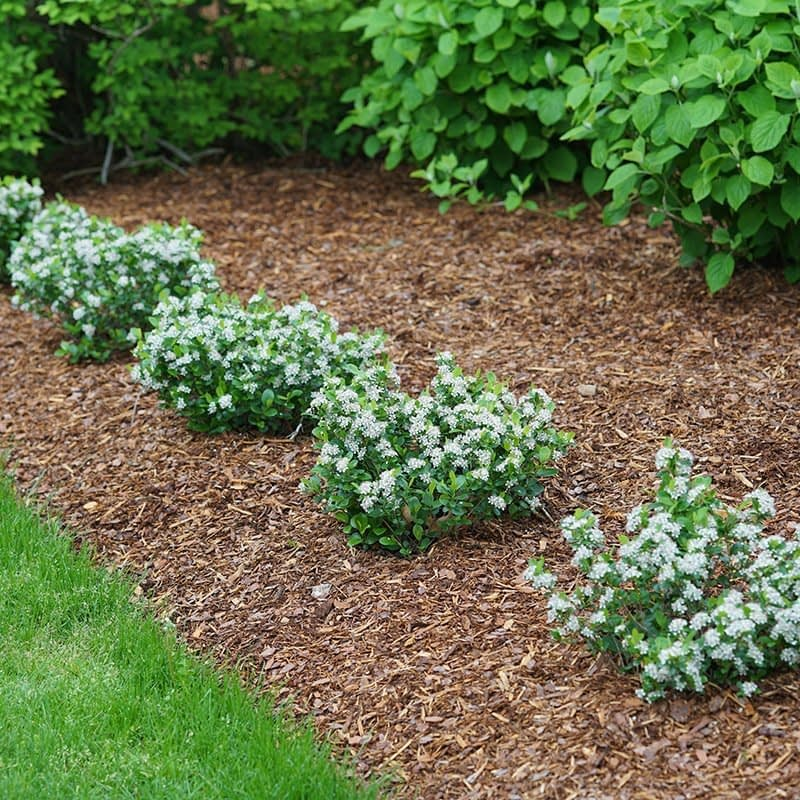 Five Low Scape Mound aronia planted at the edge of a bed.