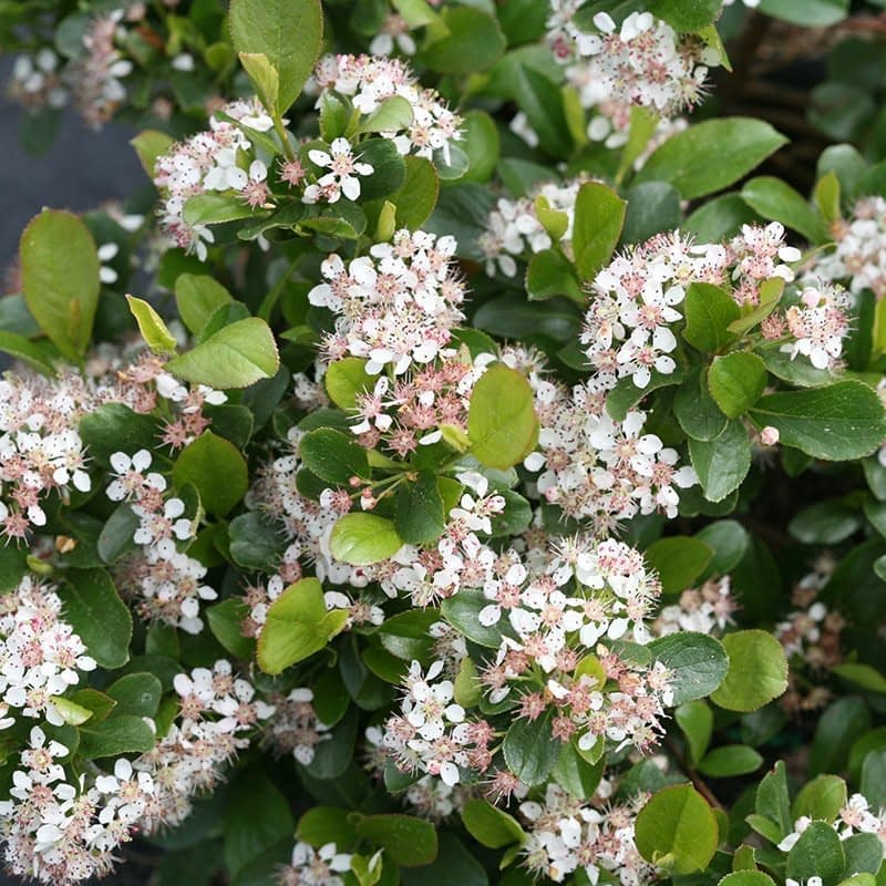 Close up of the white flowers of Low Scape Mound aronia.