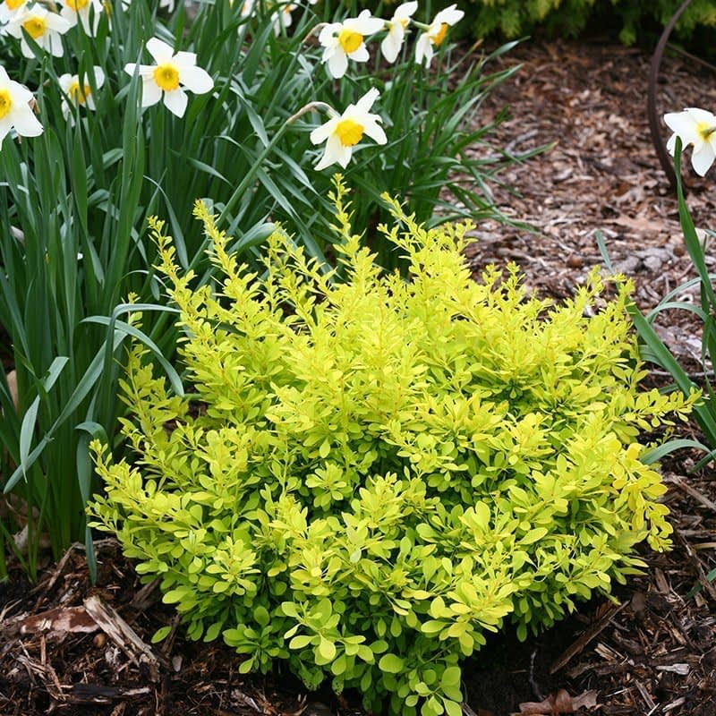 Sunjoy Citrus barberry next to a patch of blooming daffodils.