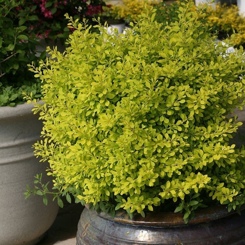 Sunjoy Citrus barberry growing in a brown ceramic container.