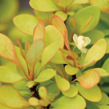 a close look at the yellow and orange foliage or Sunjoy Gold Pillar barberry with a small yellow flower.