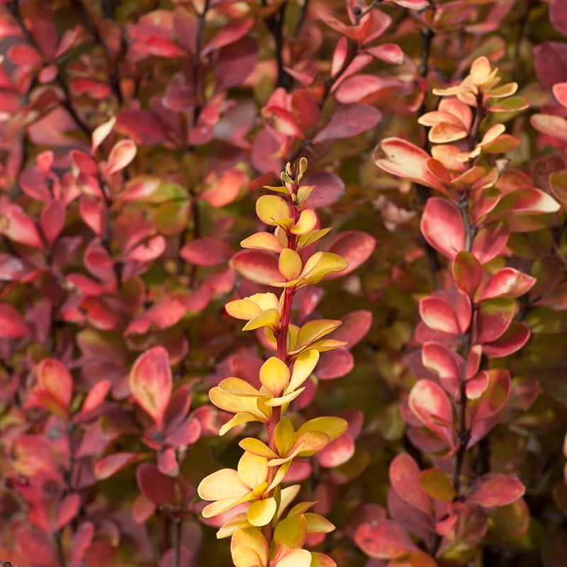 The foliage of Sunjoy Gold Pillar barberry turns bright red in fall.