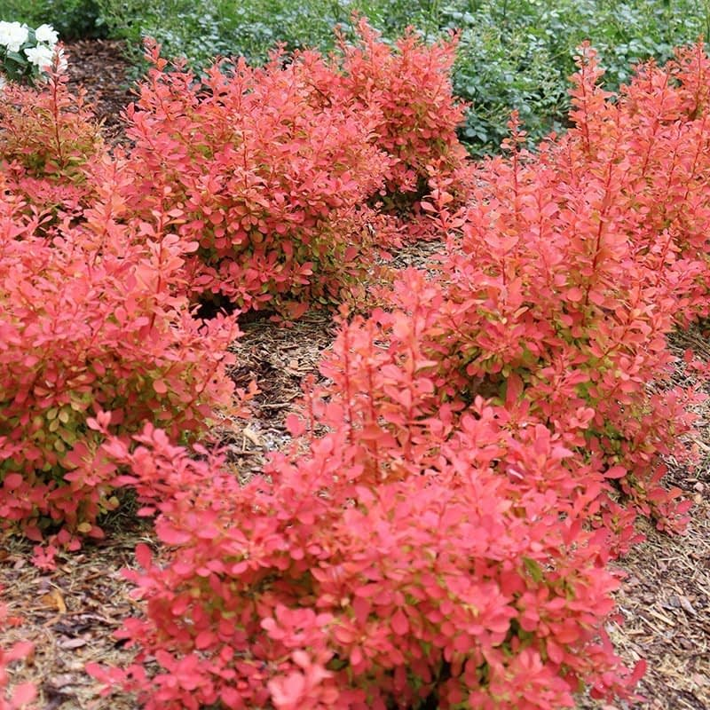 Six specimens of Sunjoy Neo barberry growing in a garden bed.