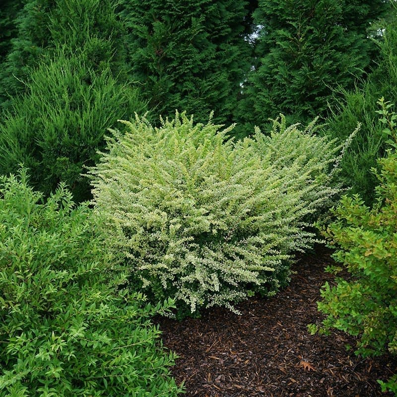 Sunjoy Sequins barberry naturally grows in a nice rounded shape.