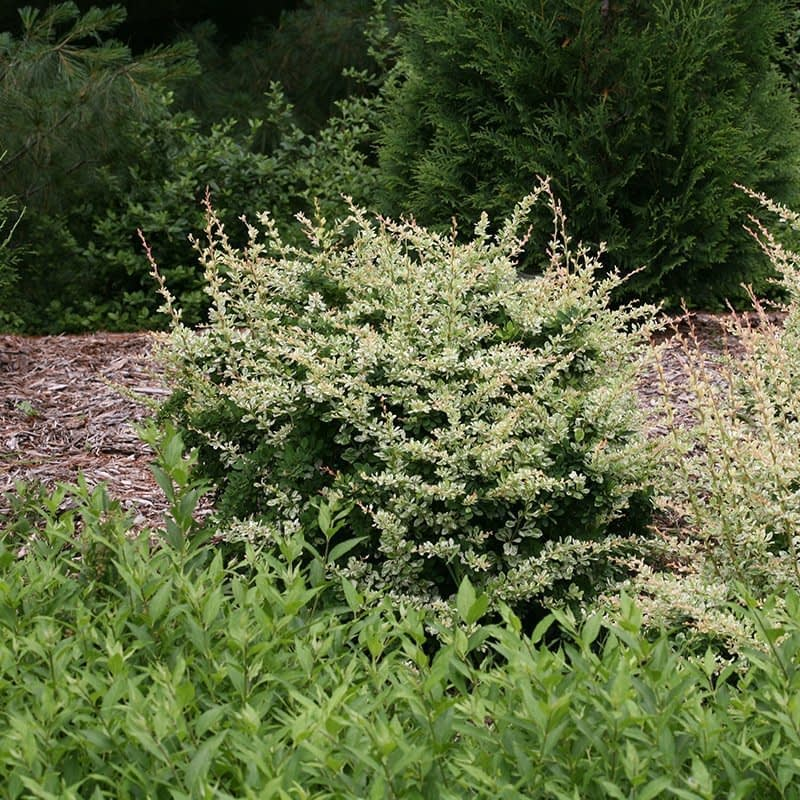 Sunjoy Sequins barberry growing in a bed surrounded by evergreens.