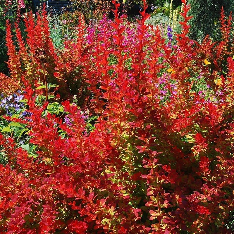 Sunjoy Tangelo barberry in a garden where its orange foliage contrasts with surrounding blue flowers.