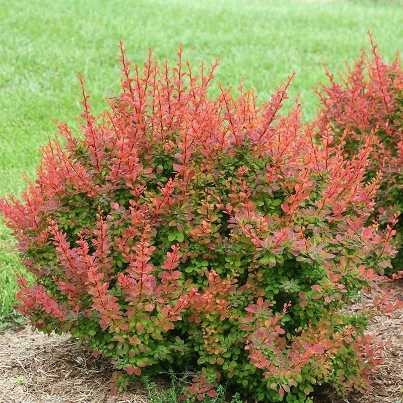 The new growth of Sunjoy Tangelo barberry is stunning orange.