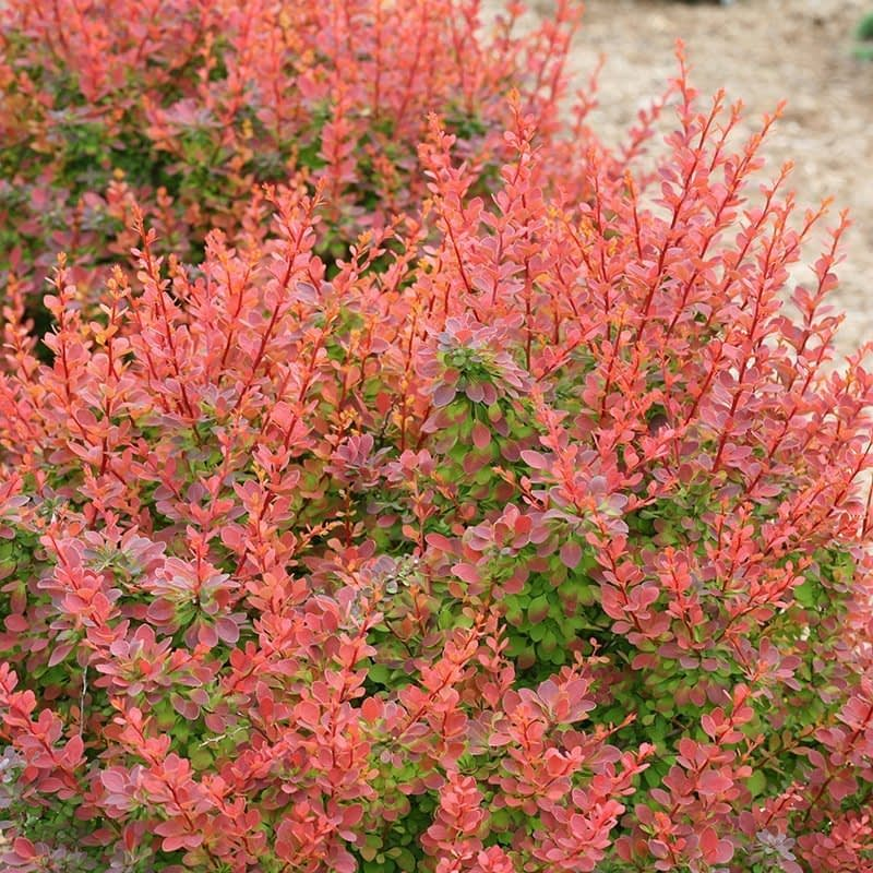 As the orange foliage of Sunjoy Tangelo barberry matures, it turns chartreuse green.
