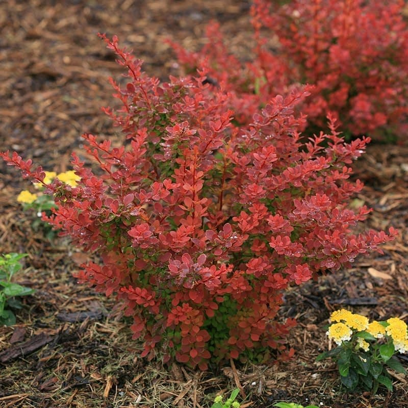 A young specimen of Sunjoy Tangelo barberry in late spring.