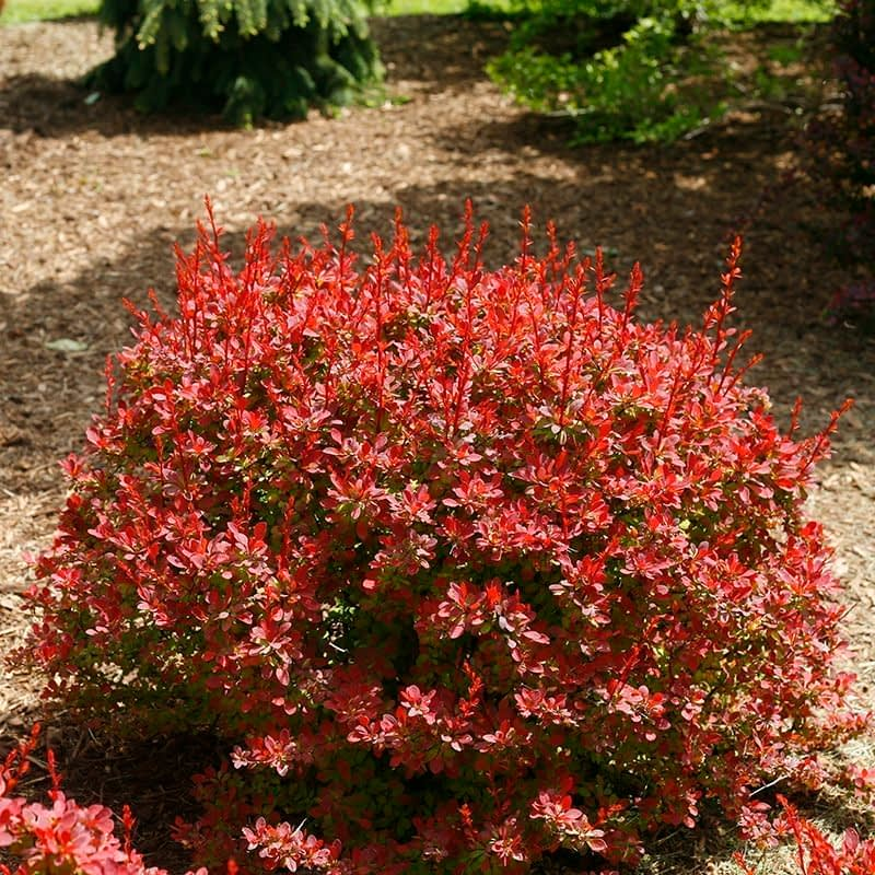 Sunjoy Tangelo barberry has a natural rounded habit and red orange foliage.