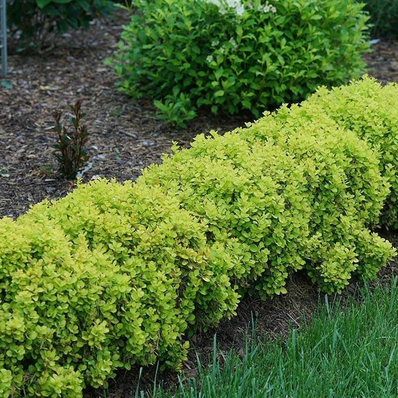 Sunjoy Mini Saffron barberry growing as the edging to a sunny bed in the landscape.