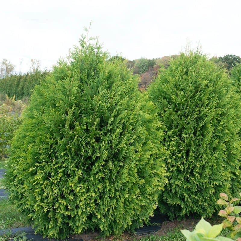 Cheer drops arborvitae is an evergreen with a neat habit.