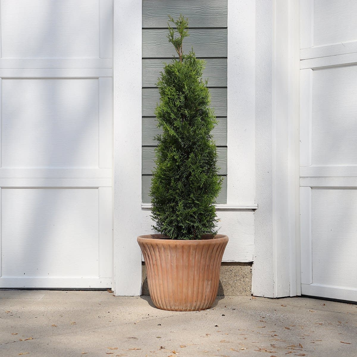 A specimen of North Pole arborvitae planted in a decorative clay container in front of a garage.