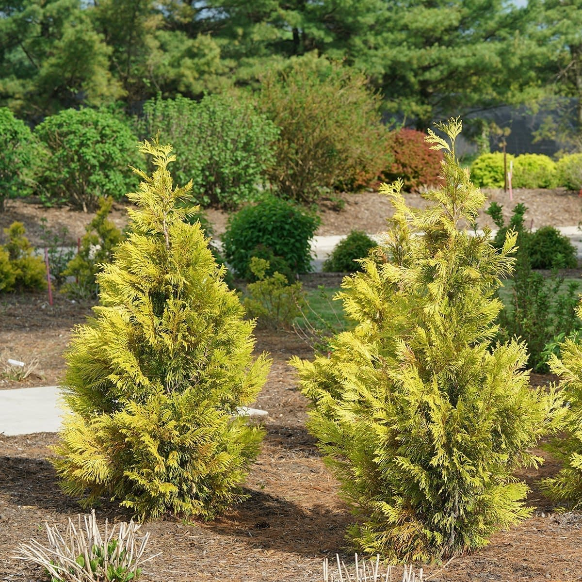 Two Fluffy arborvitae in early spring, surrounded by flowering shrubs that are beginning to emerge.