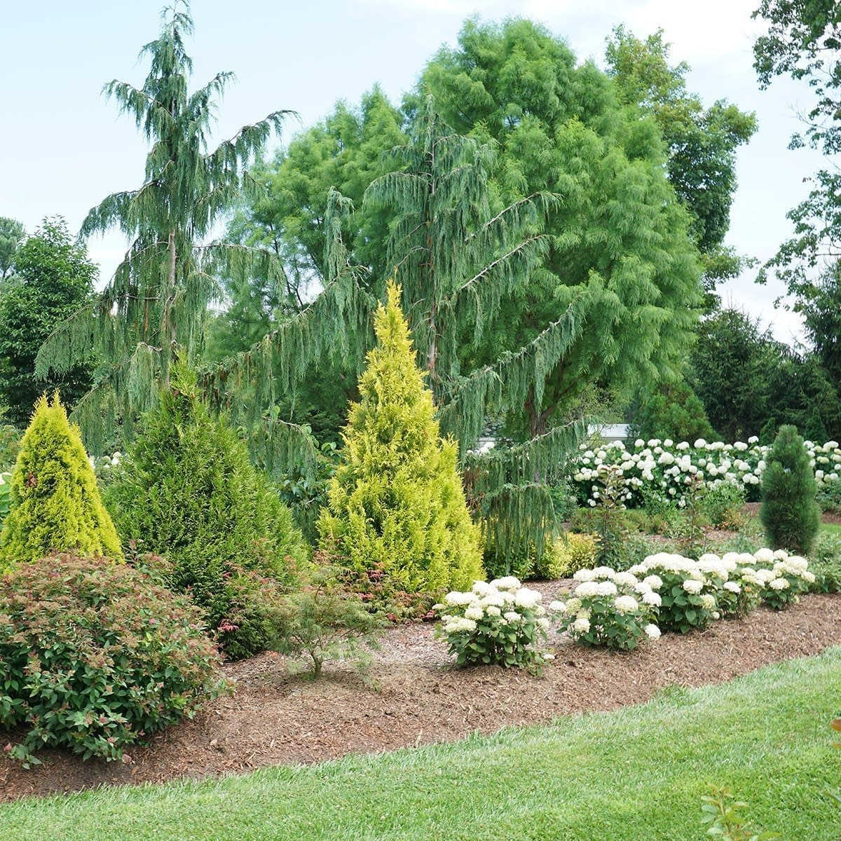 Fluffy arborvitae growing in a bed surrounded by other evergreens trees and shrubs.
