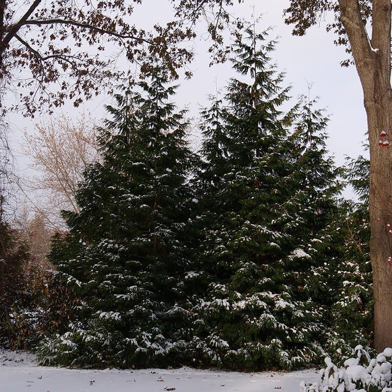 Two large specimens of Spring Grove arborvitae in a winter landscape.