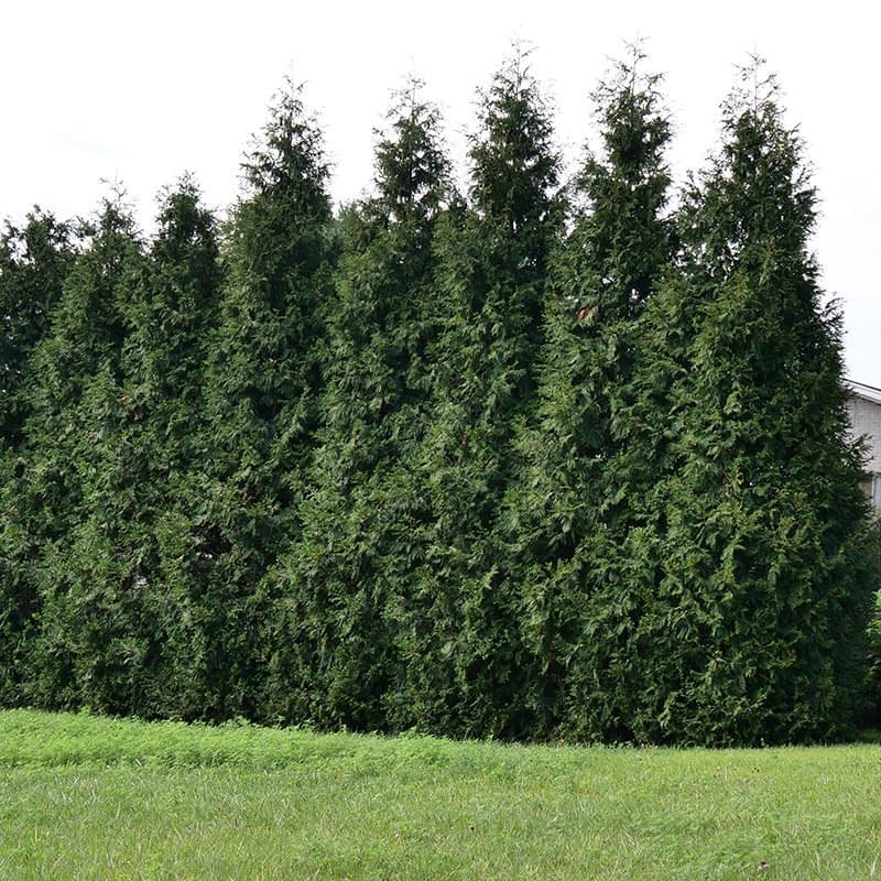 A face on view of Spring Grove arborvitae as a hedge.