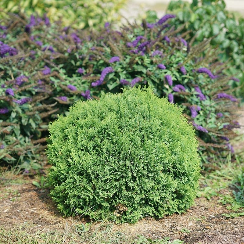 Tater Tot arborvitae naturally grows with a dense round habit.
