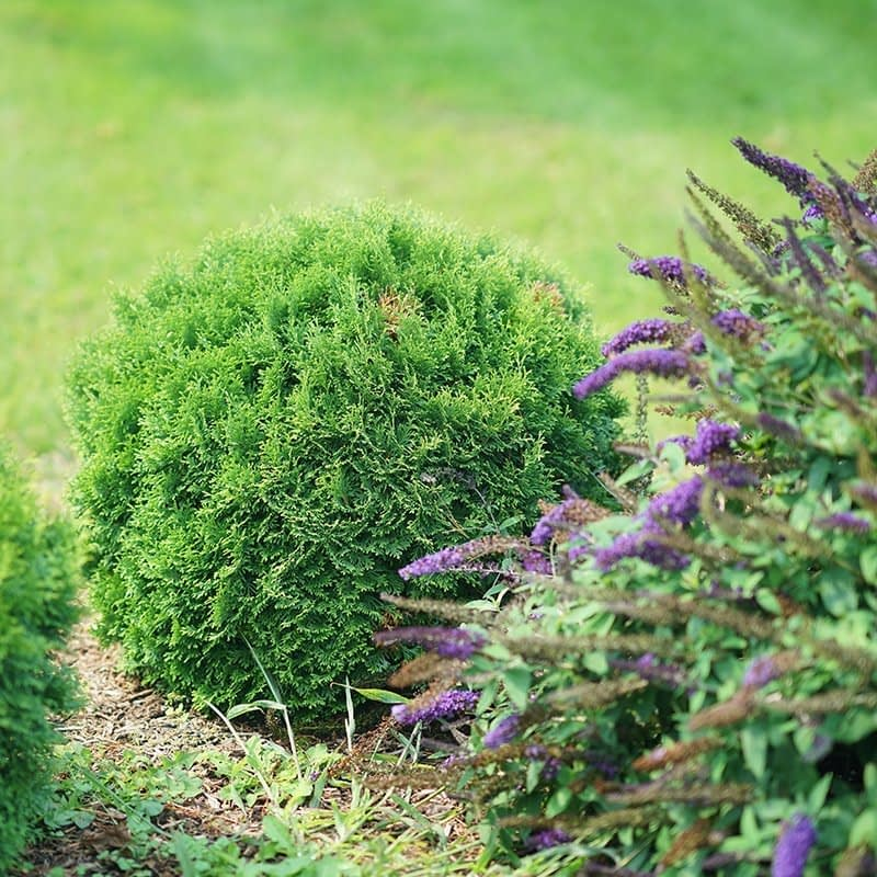 Tater Tot arborvitae paired with Blue Chip Junior butterfly bush.